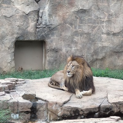 ライオンも展示されております。